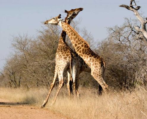 Are Giraffes Gay